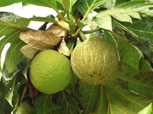 Recettes de Fruit-à-pain Aretes De Coco