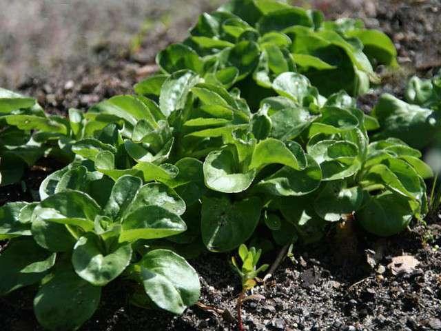 Recettes de c leri rave 9 - Variete de salade d hiver ...