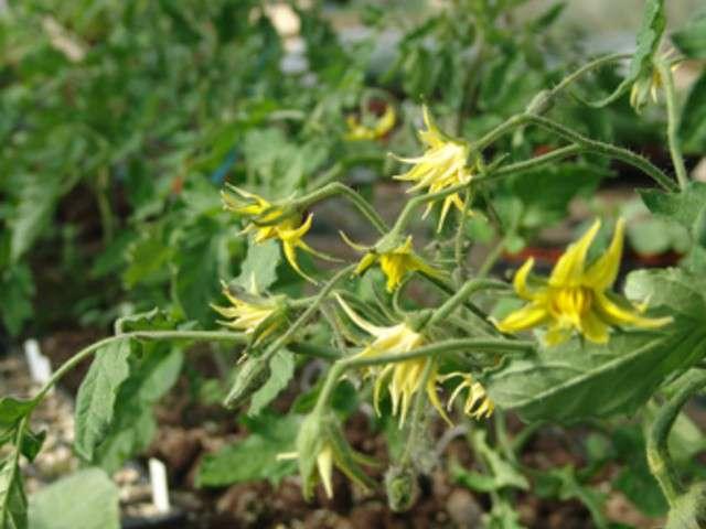 Les meilleures recettes de tomates de le jardin de jenny for Culture des jardins