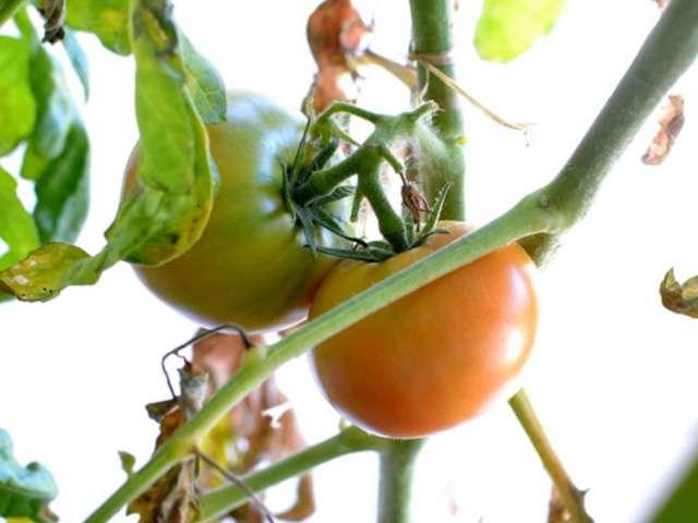 recettes de tomate sans graines. Black Bedroom Furniture Sets. Home Design Ideas