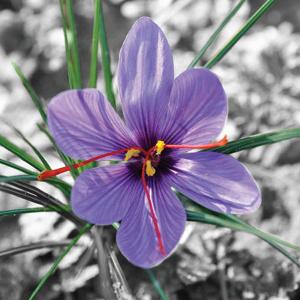 http://recettes.de/images/misc/safran-fleur.jpg